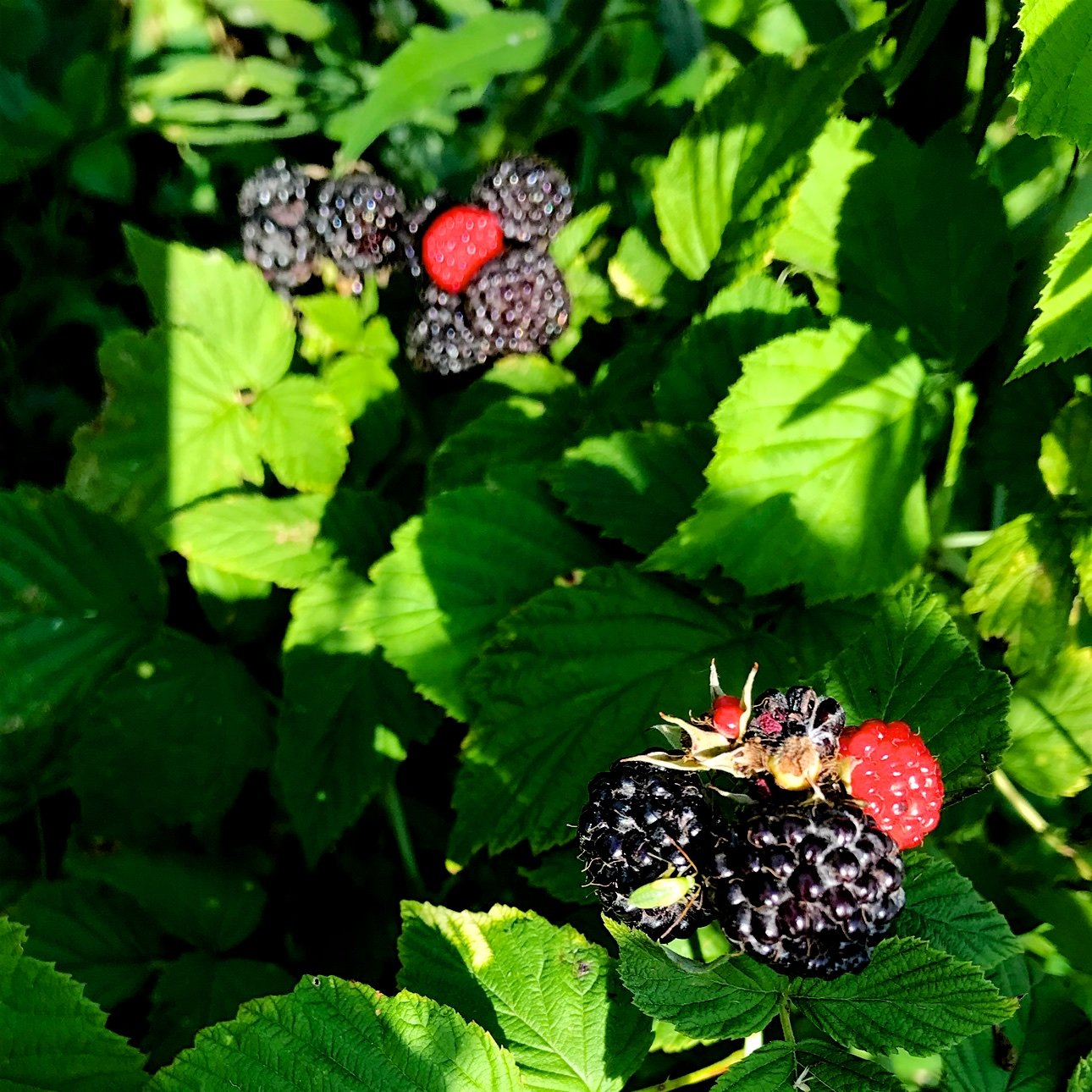 Blackberries & Raspberries